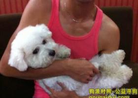 寻狗启示,寻狗启示——淮南新康医院走失白色比熊,它是一只非常可爱的宠物狗狗,希望它早日回家,不要变成流浪狗。