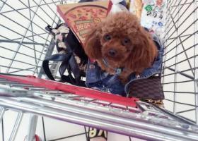 寻狗启示,阜阳寻找宝贝小型泰迪犬也许对您来说她只是一只可爱的狗狗,可对于我来说她跟家人一样。,它是一只非常可爱的宠物狗狗,希望它早日回家,不要变成流浪狗。