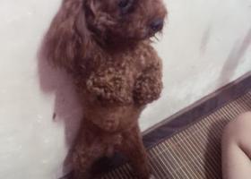 寻狗启示,寻找宝贝小型泰迪犬也许对您来说她只是一只可爱的狗狗,可对于我来说她跟家人一样。,它是一只非常可爱的宠物狗狗,希望它早日回家,不要变成流浪狗。