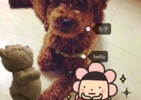 寻狗启示,山东潍坊寻狗潍城区刘家园小区附近丢失一只棕色泰迪犬,它是一只非常可爱的宠物狗狗,希望它早日回家,不要变成流浪狗。
