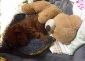 寻狗启示,威海文登重金急寻棕红色泰迪,它是一只非常可爱的宠物狗狗,希望它早日回家,不要变成流浪狗。