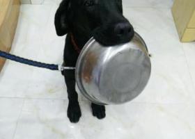 寻找一只纯黑色的拉布拉多犬