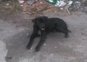 我家狗狗在9月7号上午八点半左右走失