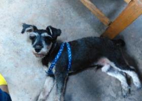 寻狗启示,四川省乐山市峨眉山市寻雪纳瑞,它是一只非常可爱的宠物狗狗,希望它早日回家,不要变成流浪狗。