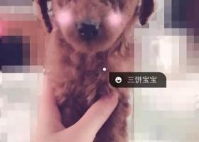 寻狗启示,文登千元寻找棕红色泰迪狗,它是一只非常可爱的宠物狗狗,希望它早日回家,不要变成流浪狗。