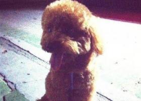 寻狗启示,爱狗丢失 望好心人帮忙寻找 谢谢,它是一只非常可爱的宠物狗狗,希望它早日回家,不要变成流浪狗。