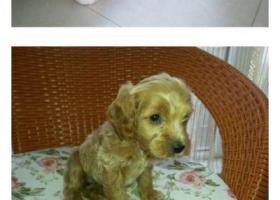 榆次区大学城文华东街口丢失一只金黄色偏咖的狗狗,带有红色牵引绳
