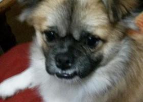 寻找狗狗旺旺,望有见到的朋友速联系 13318756111 酬谢!