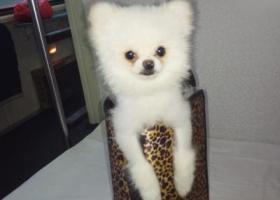 寻狗启示,白色博美   七个月大,它是一只非常可爱的宠物狗狗,希望它早日回家,不要变成流浪狗。