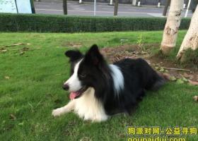 重庆江北寻找边境牧羊犬