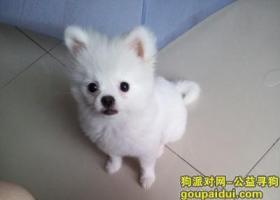 寻狗启示,小博美,纯白色的