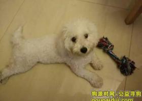 河南新乡寻狗,白色比熊糖糖