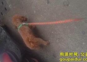 寻找一直泰迪犬 有看见的联系我电话15205892523