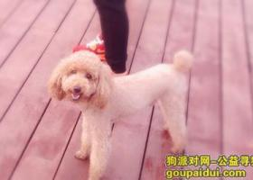 寻狗启示 黄色泰迪犬