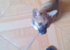 寻狗启示,于2015年9月27日在福建南平南纺五区丢失一只土狗。,它是一只非常可爱的宠物狗狗,希望它早日回家,不要变成流浪狗。
