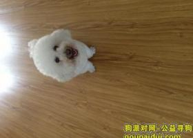 杭州老余杭宝塔山公园附近丢失比熊一只