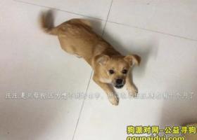 寻狗启示,请大家帮忙帮一只十月大的黄色的,像拉不拉多犬的狗,它是一只非常可爱的宠物狗狗,希望它早日回家,不要变成流浪狗。