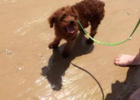 寻狗启示,十一文登重金找狗棕红色泰迪,它是一只非常可爱的宠物狗狗,希望它早日回家,不要变成流浪狗。