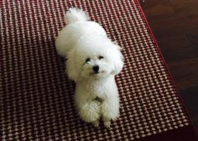 北京闵庄路北坞小区内走失一条白色小型泰迪!急寻!