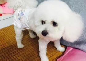 寻狗启示,白色狗狗、在市场捡到,它是一只非常可爱的宠物狗狗,希望它早日回家,不要变成流浪狗。