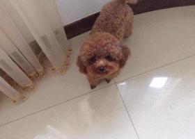 寻狗启示,寻找泰迪 面酬5000元,它是一只非常可爱的宠物狗狗,希望它早日回家,不要变成流浪狗。