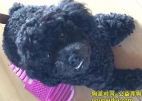 寻狗启示,寻找爱犬黑色小泰迪豆豆,它是一只非常可爱的宠物狗狗,希望它早日回家,不要变成流浪狗。