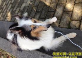 寻狗启示,苏州独墅湖附近捡到苏牧,它是一只非常可爱的宠物狗狗,希望它早日回家,不要变成流浪狗。