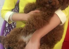 寻狗启示,济宁泰迪丢了 望好心人帮忙留意 必有重金酬谢,它是一只非常可爱的宠物狗狗,希望它早日回家,不要变成流浪狗。