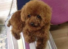 寻狗启示,北京市房山燕山丢的泰迪