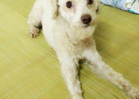 寻狗启示,安徽芜湖寻狗香槟色泰迪,它是一只非常可爱的宠物狗狗,希望它早日回家,不要变成流浪狗。