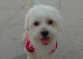 武汉找狗 10月19日晚八点半在武汉宜家荟聚购物广场丢失白色宠物狗