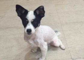 寻狗启示,寻狗启示,狗狗身上颜色是白色,眼睛跟耳朵都是黑色的,它是一只非常可爱的宠物狗狗,希望它早日回家,不要变成流浪狗。