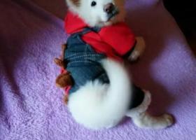 狗狗在新世界丢了白色的拜托各位好心人留意下萨摩耶4个月