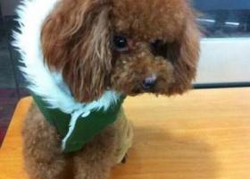 寻狗启示,红色贵宾身上患有肿瘤还细小病 治疗中请大家帮忙找,它是一只非常可爱的宠物狗狗,希望它早日回家,不要变成流浪狗。