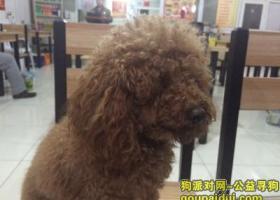 北京找狗寻北京昌平区沙河高教园2015年10月25日晚走失棕色泰迪犬