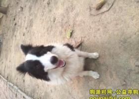 寻狗启示,寻找狗狗,母边境牧羊犬,它是一只非常可爱的宠物狗狗,希望它早日回家,不要变成流浪狗。