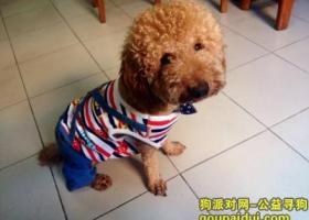 宜昌万达附近寻找浅黄色的泰迪犬