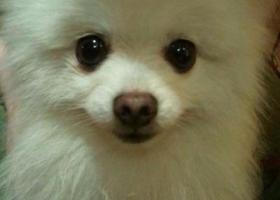 寻狗启示,金华浦江登高村遗失一8岁公博美,叫维特,它是一只非常可爱的宠物狗狗,希望它早日回家,不要变成流浪狗。