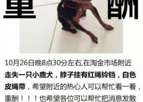 重酬 寻广州市淘金路一带走失三岁小鹿犬
