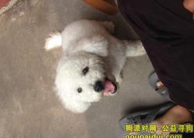 寻狗启示,叶县南关宰厂11月9号晚上8点丢失一只比熊犬,它是一只非常可爱的宠物狗狗,希望它早日回家,不要变成流浪狗。