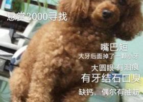 急!寻狗启示 悬赏2000元寻找爱犬小贝 小泰迪母狗走丢