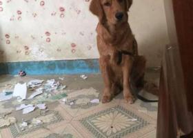 寻狗启示,【寻狗启事】6月大棕色金毛阿泰在黄务动漫城跑丢,它是一只非常可爱的宠物狗狗,希望它早日回家,不要变成流浪狗。