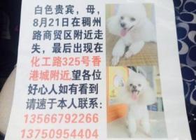 找白色贵宾母狗,浙江义乌市