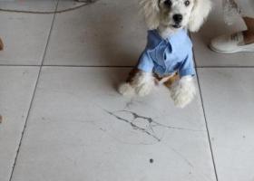 寻狗启示,狗狗是白色比熊,真的希望有微山马坡的留意一点!,它是一只非常可爱的宠物狗狗,希望它早日回家,不要变成流浪狗。