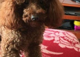 寻狗启示:江苏无锡新区宝龙城市广场后面的小区丢失一只泰迪