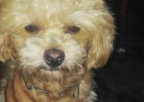 本人有一只京巴狗,名叫毛球,它怀着孕在2015年11月22日在凭祥市南大路2巷走丢。如果有哪位朋友遇见它请跟我联系。13768820966陈先生,必有300元现金作为感谢。