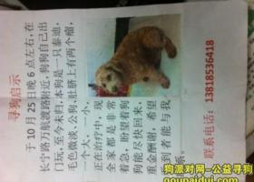 上海长宁区万航渡路附近走失泰迪一只,有重金酬谢
