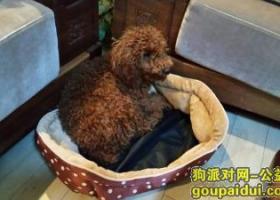 寻狗启示,大型棕色泰迪走丢 联系电话18506460626,它是一只非常可爱的宠物狗狗,希望它早日回家,不要变成流浪狗。