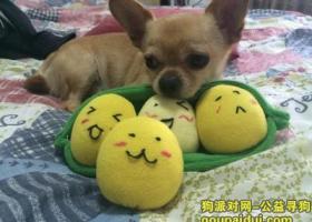 徐州找狗寻狗启示:江苏徐州环城路爱牙医院红绿灯附近走失一只吉娃娃