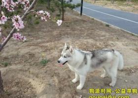 北京海淀区西北旺茉莉园丢失哈士奇犬一只